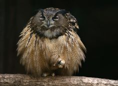 An eagle owl fluffs out its feathers as it sits on one foot on a branch in its enclosure at the Grugapark in Essen March 26, 2014.