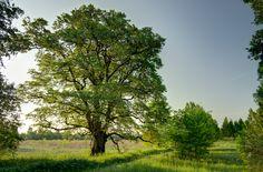 Árboles nobles: El olmo   El olmo un gran árbol con enemigos pequeños (pero matones)  Es el olmo común (Ulmus minor) un precioso y respetable árbol que en su madurez puede adquirir un aspecto tortuoso y retorcido aunque majestuoso. Junto con el roble y el nogal es uno de los árboles nobles por excelencia. El olmo ha formado parte de nuestra cultura y patrimonio desde tiempo inmemorial y por eso la situación a la que parece abocado desde hace un siglo es precisamente más triste.  Olmo temblón…