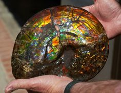 70 Million Year Old Ammonite Fossil.  Geology Wonders