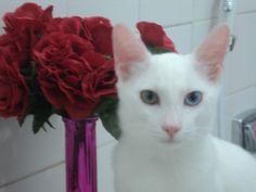 nosso gato khao manee luck Recife-PE