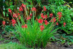 Hesperantha coccinea - River Lily  Frost hardy  Sun   Water loving  Summer flowering