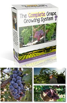 Grow perfect grape vines that produce up to 42 pounds of grapes on a single vine. No previous experience needed!