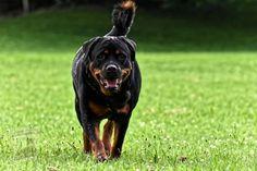 Guard Dog Breeds, Top 10 Dog Breeds, Best Dog Breeds, Large Dog Breeds, Large Dogs, Akita Dog, Doberman Dogs, Rottweiler Dog, Best Guard Dogs