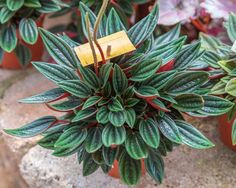 Easy tips on growing and caring for Peperomia, often called Radiator Plants. Learn about common problems and the best solutions for a healthy & thriving Peperomia plant. Green Friends for Our Home DEVI GOOGLY PHOTO GALLERY  | LH3.GOOGLEUSERCONTENT.COM  #EDUCRATSWEB 2020-08-10 lh3.googleusercontent.com https://lh3.googleusercontent.com/-oQyV-qt1Hr4/XWTBTJjhcBI/AAAAAAAAgF0/R1gjPS3LNpc-PTh3bz3w4U5PaLoPfN0HACLcBGAs/s1600/IMG_ORG_1566884090649.jpeg