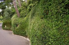 Curved cloud-form hedges