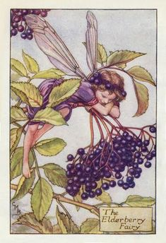 Elderberry Fairy Cicely Mary Barker - The Flower Fairies of the Autumn was first published in These prints are from First or early editions of this work. Each Flower Fairy print is accompanied with a copy of the poem authored by Cicely Mary Barker. Cicely Mary Barker, Fairy Land, Fairy Tales, Elderberry Flower, Elderberry Bush, Elderberry Benefits, Decoupage, Autumn Fairy, Vintage Fairies