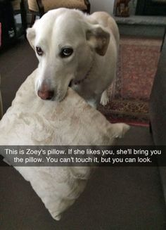 This is Zoey's pillow. #funny #cute #dogs #doglovers