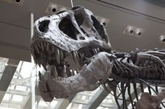Thomas the T.Rex at the Natural History Museum of Angeles County