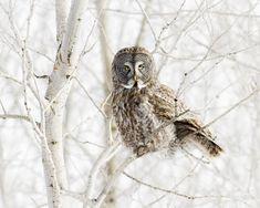 Great Grey Owl - Great Grey Owl sitting in tree
