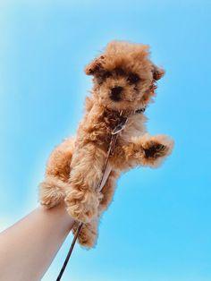 Mini Cockapoo, Cockapoo Puppies, Getting A Puppy, Teddy Bear, Animals, Animales, Animaux, Teddy Bears, Animal Memes