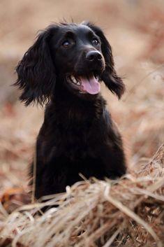 "Fantastic ""cocker spaniel dog"" info is available on our internet site. Black Cocker Spaniel, American Cocker Spaniel, Cocker Spaniel Puppies, Spaniel Breeds, Dog Breeds, Hamsters, Shiba Inu, Working Spaniel, Beagle"