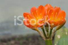 Close Up of the flowers on succulent royalty-free stock photo