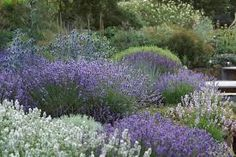 kwekerij bastin lavender colors