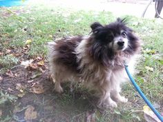 """""""Rayne"""" is a sweet girl, about 10 yrs. old.Available for adoption through Central Ohio Pomeranian Rescue.http://www.petfinder.com/petdetail/28195869/She was picked up as a stray in Cleveland, OH and was very scared at the kennel.Rayne is a shy girl..."""