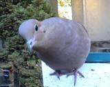 mourning dove - yard bird f