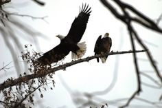 Eagles at Reelfoot Lake  Reelfoot State Park  Tiptonville, TN