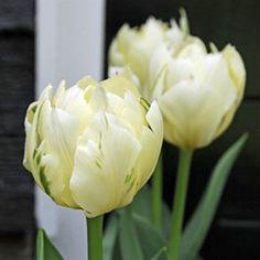 White Parrot Tulips   White Parrot Tulip Flower Bulbs x 25