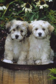 Havanese.. The cutest widdle guys ever! Drake says no, but Kenzie and I aren't giving up!