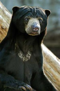 Malayan sun bear (Helarctos malayanus) is a bear found in tropical forest habitats of Southeast Asia and is the smallest of the bears. Sloth Bear, Panda Bear, Wild Animals Pictures, Animal Pictures, Malayan Sun Bear, Spectacled Bear, St Louis Zoo, American Black Bear, Forest Habitat