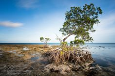 To the end of time - Two mangroves growing in the Florida Keys.