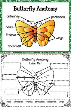 butterfly diagram teacher ideas pinterest diagram butterfly rh pinterest com diagram of butterfly for kids diagram of butterfly body parts