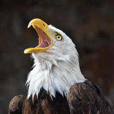 Bald Eagle crying by Asterix93