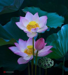 Resultado de imagem para lotus flowers in water