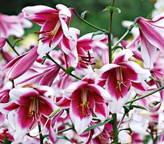 """Lilium Silk Road.  4-8' tall.  """"Stunningly beautiful Orienpet Lilies are hybrids between Oriental and Trumpet Lilies. Orienpets combine the best features of both groups of Lilies—fragrance, large flowers, and sturdy garden performance—but bloom about two weeks earlier than most Orientals. The advantage is an almost continuous sequence of Lily blooms, if you start with Asiatic varieties, then follow with Trumpets, Orienpets, and Orientals."""""""