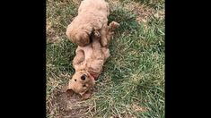 Mini Goldendoodle Puppies For Sale In Idaho | doodles4love.com