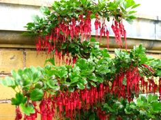 fuschia plant | ... flowered gooseberry - Ribes speciosum (California native plant