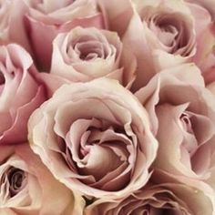 """blomstlosangeles: """" There are thousands of beautiful roses, but none as pretty, pale, blushing and lovely as my favorite Secret Garden. Pale powder coral light rouge pastel pink in each petal. Its..."""
