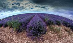 Lavender fields, Brihuega, Guadalajara, España