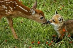 Fawn and Fox