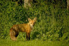 DSC02242 Cape Breton, Kangaroo, Sony, Deer, Wildlife, Island, Animals, Baby Bjorn, Animales