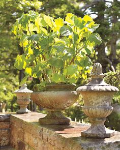Begonia parviflora stands tall in a cast-iron planter, flanked by a pair of urns.