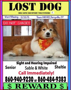 Sandy went missing from the Town Hill Road area in Terryville, Connecticut on 26th October. She's a senior Sheltie who is hearing & visually impaired. If you see her please call the numbers on the flyer ASAP!