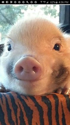 I usually don't like those tiny pigs, but this is too cute
