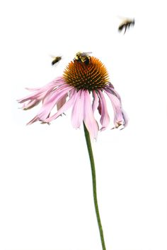 coneflower with bees (mary jo hoffman)
