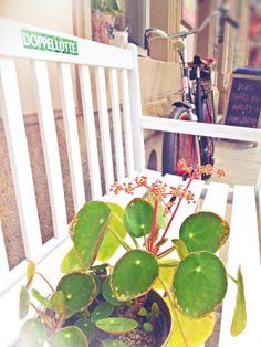 UFO-Planze  #rundblatt #blüte #ufopflanze #dresden #doppellotte