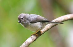 Pygmy Bushtit(Psaltria exilis) Wade Strickland