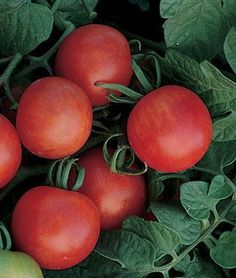 Grow robust tomato plants with Burpee's high yield tomato seeds today. Shop quality beefsteak, cherry, slicing, paste, and heirloom tomato seeds for sale. Find over 100 types of tomato seeds & plants for sale at Burpee. Cherry Tomato Plant, Tomato Plants, Cherry Tomatoes, Baby Tomatoes, Types Of Tomatoes, Growing Tomatoes, Tomato Garden, Fruit Garden, Determinate Tomatoes