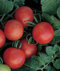Gardener's Delight Tomato Seeds #1 tomato