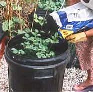 Plantar batatas em balde