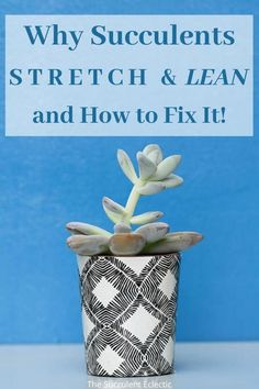 Why are your succulents growing so tall and stretched? There is a reason and you can fix it! When succulents stretch it can almost always be corrected, but make no mistake, untreated, etiolation can kill your plants! Learn about etiolated succulents and how to help them grow compact and full again! Pin now, read later - your succulents will thank you!  #succulents #succulentcare #stretchingsucculents #etiolatedsucculents