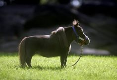 "The world's smallest horse...meet Thumbelina, a 17.5"" tall drarf miniature horse! Courtesy of our friends at HorseNation.com."