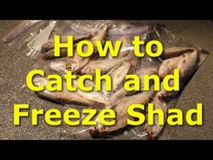 How to catch shad with a cast net and fishing sonar. Also, how to freeze shad so they stay fresher longer. Gizzard shad are catfish candy.