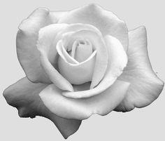 Black And White Roses Black And White White Roses Flowers