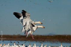 Snow Geese Landing Sacramento National Wildlife Refuge Northern California
