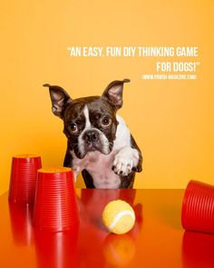 """An easy, fun DIY thinking game to keep your dog mentally stimulated!"" #dogphotography #bostonterrier"