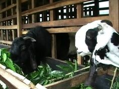 Etawa Why so special? Actually what Etawa food? Well, on this occasion we will be little to write about food Etawa. Etawa is a type of goat Ruminant, where the goat is not dependent on the nutrients from the food they consume.